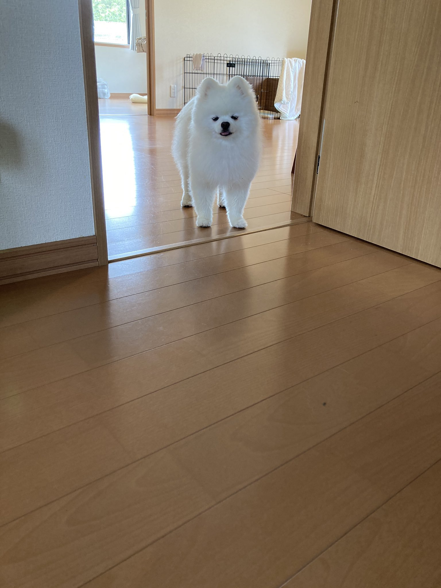 [Quiz]Why does this Pomeranian have a troubled face !? Look at his expression …